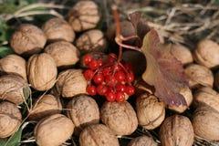 Viburnum και καρύδια Στοκ Εικόνες
