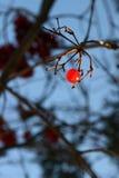 Viburnum μούρων Στοκ φωτογραφίες με δικαίωμα ελεύθερης χρήσης