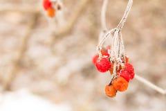 Viburnum που παγώνουν, γνήσια φωτογραφία Στοκ Εικόνες