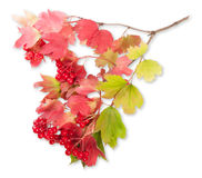 Viburnum σε έναν κλάδο με τα φύλλα Στοκ Φωτογραφία