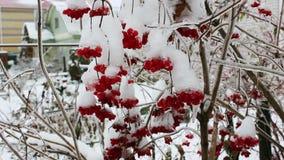 Viburnum στον κήπο που καλύπτεται από το παγωμένο χιονόνερο απόθεμα βίντεο