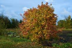 Viburnum στον κήπο Στοκ Φωτογραφία
