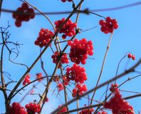 Viburnum στο δέντρο Στοκ Εικόνες