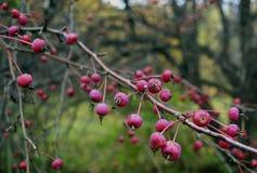 viburnum φυλλώματος φθινοπώρου του Rowan φρέσκα φύλλων υγιή φρούτων φυτών τρόφιμα πράσινο ρ μούρων φρούτων σταφίδων μούρων γεωργί στοκ φωτογραφίες με δικαίωμα ελεύθερης χρήσης