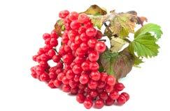 viburnum красного цвета ягод стоковая фотография rf