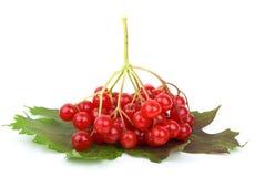 viburnum листьев ягод Стоковое Фото