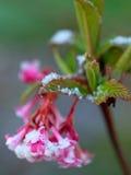 viburnum рассвета bodnantense Стоковое Изображение