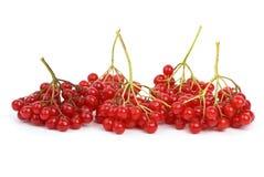 viburnum ягод Стоковое фото RF