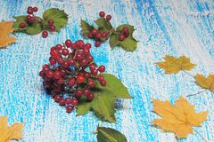 viburnum Foto de archivo libre de regalías