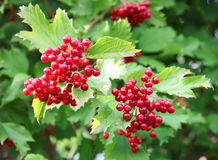 Viburnum. Red berries on a bush viburnum royalty free stock photography
