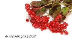 Viburnum Royalty Free Stock Images