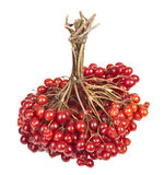Viburnum. Sheaf of ripe Viburnum on a white background stock image