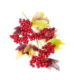 Viburnum Stock Photos