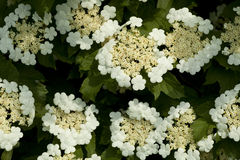 Viburnum. Bush of viburnum with white flower as background royalty free stock photography