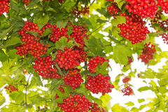 Viburnum. Bunches of red viburnum in the foliage stock photos