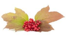 Viburnum Stock Image