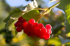 Viburnum. Is a genus of about 150-175 species of shrubs or (in a few species) small trees that were previously included in the family Caprifoliaceae. Genetic royalty free stock photo