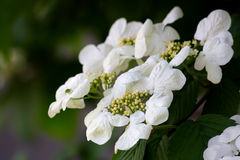 Viburnum Royalty Free Stock Photos
