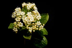 Viburnum. On a black background Royalty Free Stock Photography