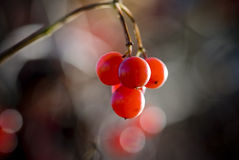Viburnum. Tree, branch, red, macro, washed out background, berry, autumn Stock Image
