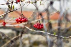 viburnum Στοκ Φωτογραφίες