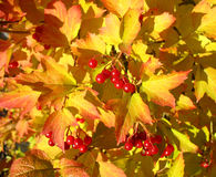 Viburnum against yellow leaves. Autumn Royalty Free Stock Photos