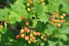 Viburnum (arrowwood). Some green viburnum (arrowwood) berry on branche Royalty Free Stock Image