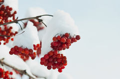 Viburnum bajo fondo de la nieve Imagen de archivo libre de regalías