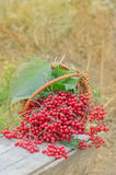 Viburnum in basket. Guelder rose berries Royalty Free Stock Images