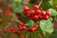 Viburnum berries. Bunch of ripe viburnum berries Royalty Free Stock Photography