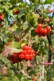 Viburnum berries. Bunch of ripe viburnum berries in sunlight Stock Image