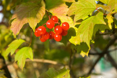 Viburnum berries Royalty Free Stock Images