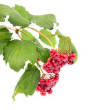 Viburnum berries Stock Photography