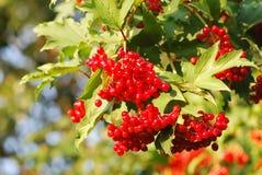 Viburnum berries. Red viburnum berries on the tree branch Stock Photo