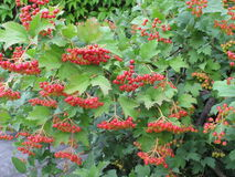 Viburnum berries. Bunches of red viburnum berries on the tree branch Stock Images
