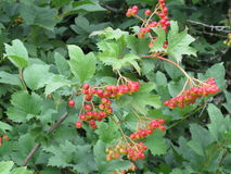 Viburnum berries. Bunches of red viburnum berries on the tree branch Royalty Free Stock Images