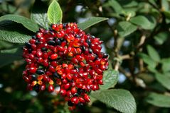 Viburnum Berries in Autumn. Vibrant Viburnum berries changing color from red to black in autumn Stock Photo