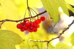 Viburnum. Berries on the branch Royalty Free Stock Image