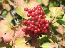 Viburnum berries bunch. A bunch of berries of viburnum and autumnal leaves on a branch of a tree in the garden stock image