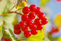 Viburnum berries Stock Image