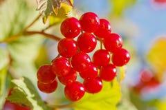 Viburnum berries. A bunch of viburnum berries close-up shot stock image
