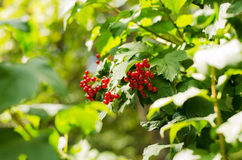 Viburnum berries on the bush Stock Images