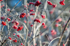 Viburnum berries on a bush covered with ice Royalty Free Stock Images