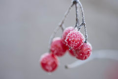 Viburnum berries on a bush covered with ice Royalty Free Stock Photography