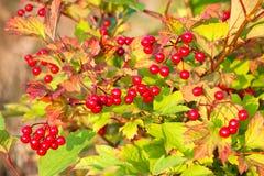 Viburnum berries on bush Stock Image