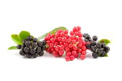 Viburnum berries and chokeberry Royalty Free Stock Image