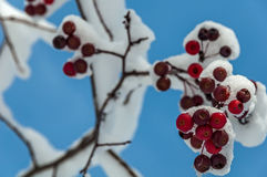 Viburnum berries fruits red snow Royalty Free Stock Photo