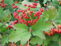 Viburnum berries and green leaves. Bunches of red viburnum berries on the tree branch Stock Photo