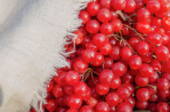 Viburnum berries or guelder rose. Viburnum berries as background. Guelder rose berrie royalty free stock image