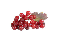 Viburnum berries Stock Photo